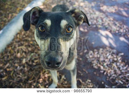 Stray Dog Gazing At The Camera Close-up