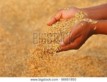 Hand Holding Golden Paddy Seeds
