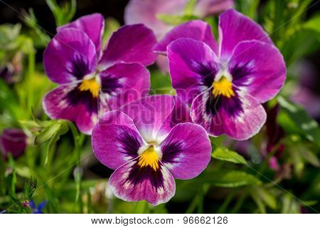 Botanic Gardening Plant Nature Image: Group Of Three Bright Violet Pansy (viola Tricolor, Viola Corn