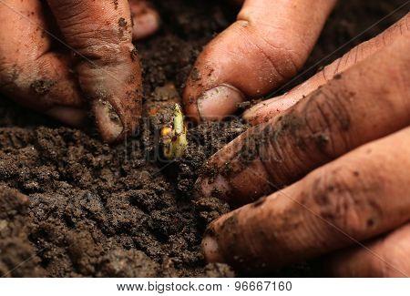 Planting Turmeric