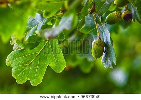 Green acorn hanging from a tree oak leaf background nature summe