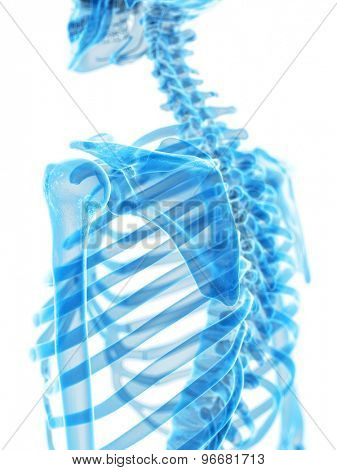 medically accurate illustration of the scapula
