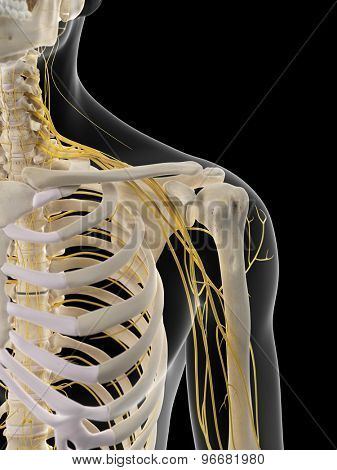 medically accurate illustration of the shoulder nerves