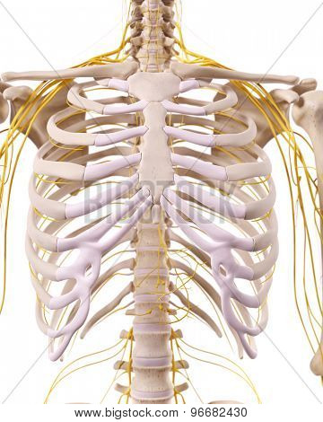 medically accurate illustration of the thorax nerves
