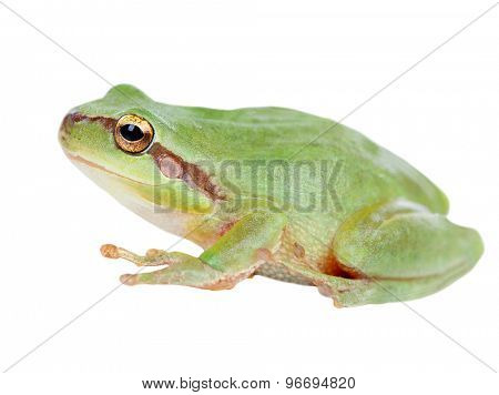 Green frog with bulging eyes golden isolated on white background