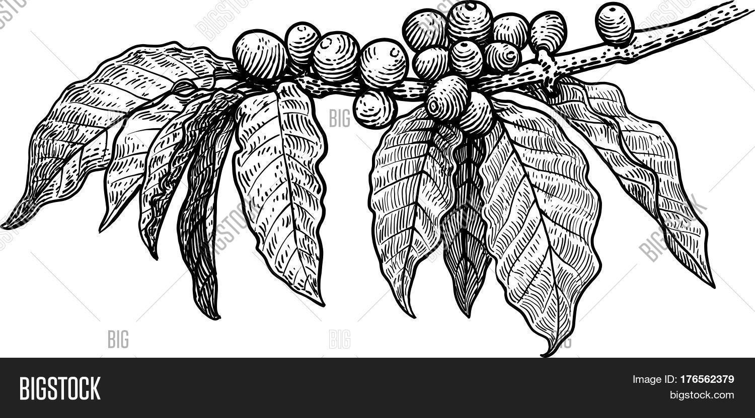 It is an image of Terrible Coffee Plant Drawing