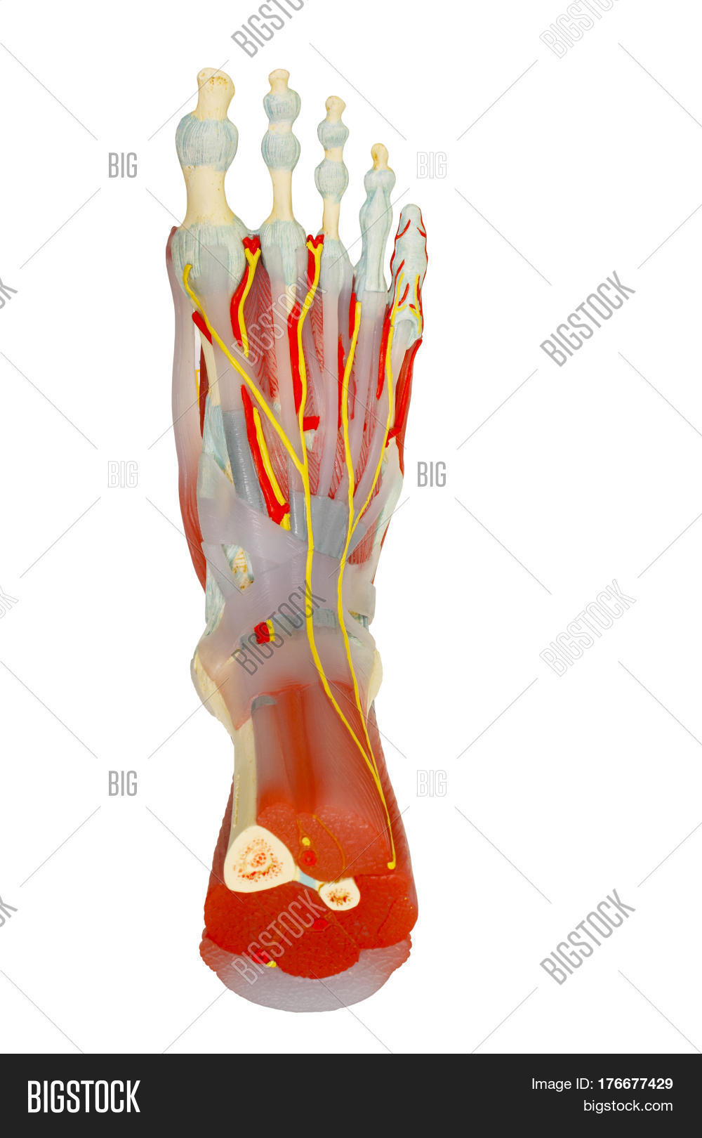 Top View Human Foot Muscles Anatomy Image & Photo | Bigstock