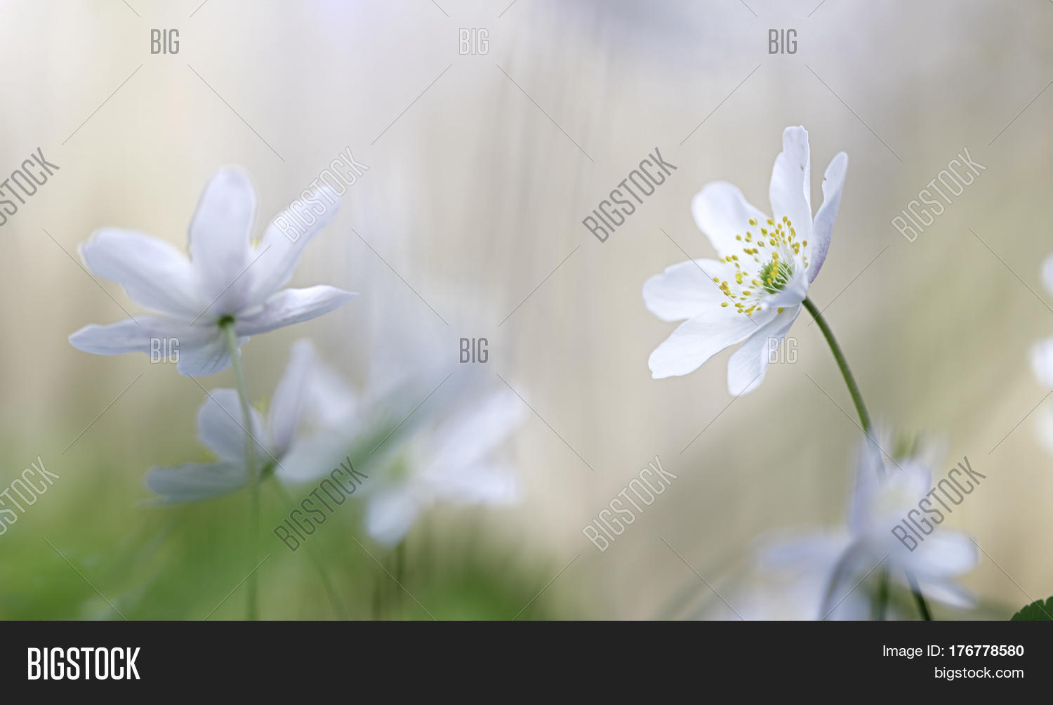 Wood Anemone White Image Photo Free Trial Bigstock