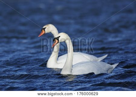 Pair Of Mute Swans Swimming On A Lake In Spring