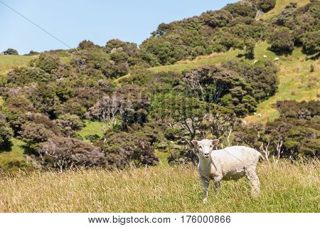 closeup of sheared sheep standing on grassy meadow