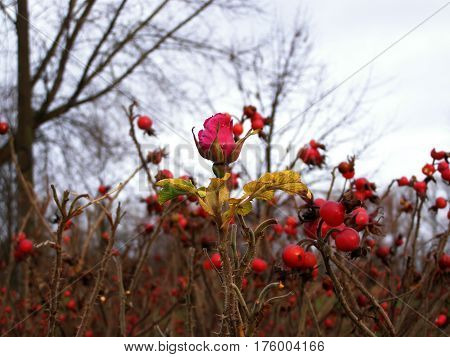 last flower of rosehips in the fall