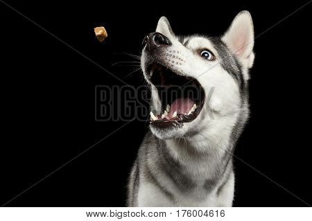 Portrait of Funny Siberian Husky Dog opened mouth Catching treat on Isolated Black Background, front view