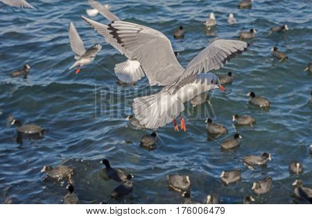 The sea gulls which flies over surface of the sea