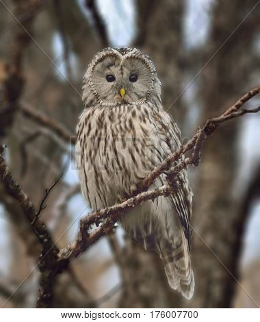 Great grey owl (Strix nebulosa) Sits on a branch in winter