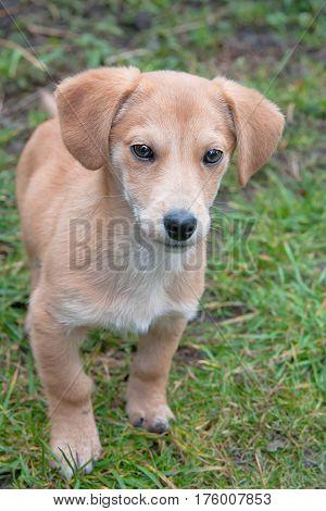 closeup portrait of a dachshund puppy in grass