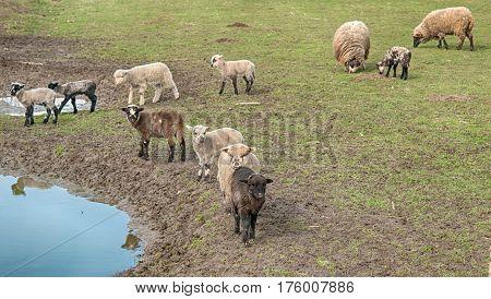 a sheeps on green meadow in mountain