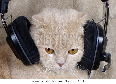 cat in the headphones looks with a serious look