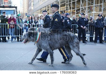NEW YORK - MARCH 17, 2016: United States Army Ranger with Irish Wolfhound marching at the St. Patrick's Day Parade in New York.