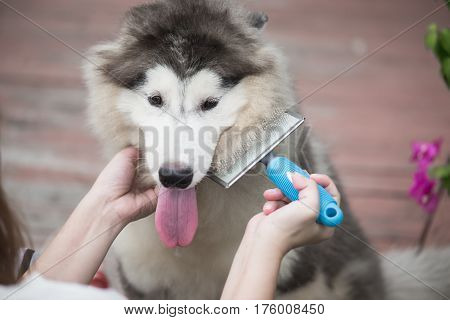 Asian woman using a comb brush the siberian husky puppy