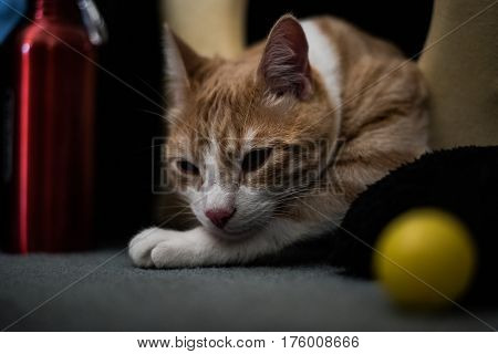 Young cat resting his head on paws while looking at viewer