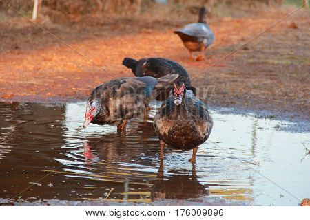 Ducks playing in a puddle of water near a farm house