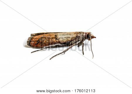Brown cloth moth isolated on white background macro photography