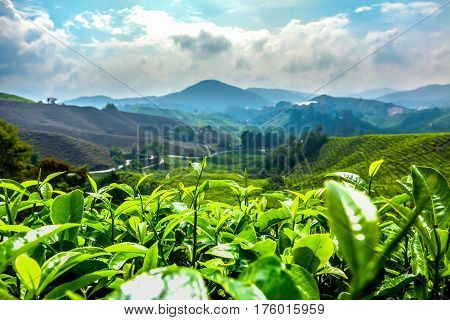 Green tea filed in the Hightground mountain