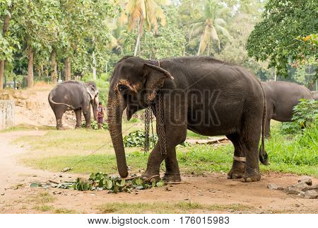 elephant browsing in tropical forest on Sri Lanka