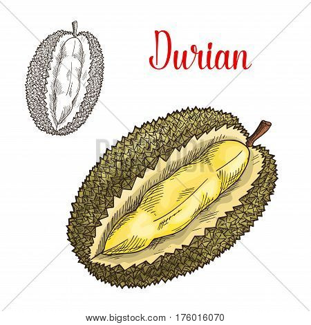 Durian sketch. Vector isolated fruit icon of exotic durio cut or sliced to flesh. Smelly tropical fruit of Thailand or Asia for grocery store, shop and farm market