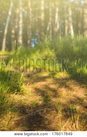 Sunrise, sunset in the forest, Forest trail, background, tree roots forest toned
