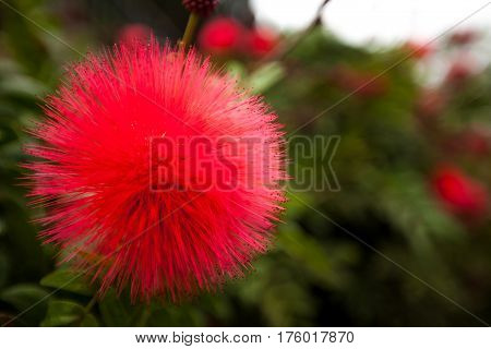 Red rose apple pollen with soft fucus