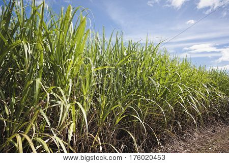 growing sugar cane in Cairns Queensland Australia