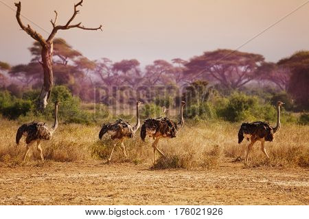 Herd of female ostriches in grassland in the evening, Africa