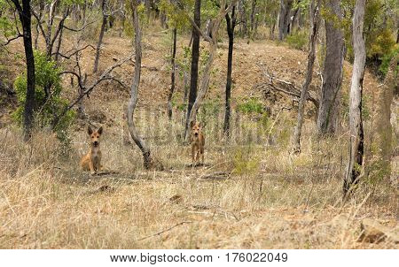 two wild dingo's in the dry bush in Australia outback