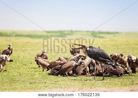 African marabou feeding among the vultures flock, Maasai Mara National Reserve, Kenya