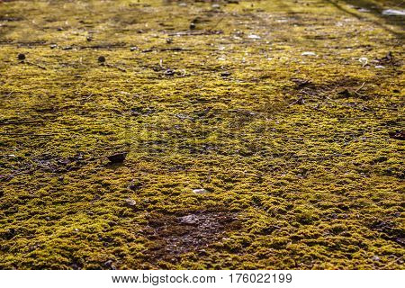 Moss on the asphalt. Moss in the sun. Lichen on the ground. Moss for background.
