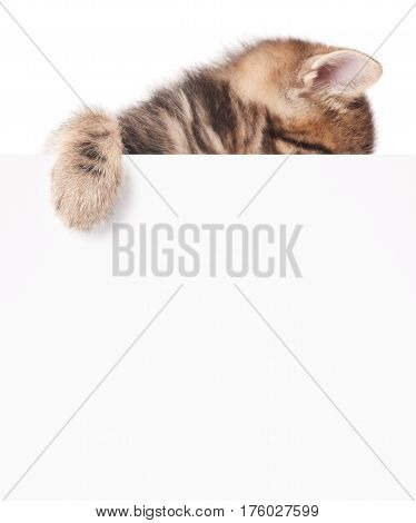 Cute fluffy siberian kitten with empty blank billboard over white background