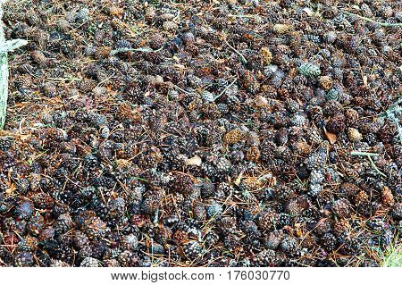 coniferous pinecone forests needle rotten travel wood