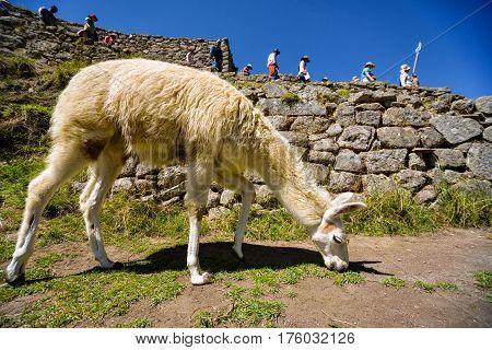 Machu Picchu Peru - 13 Oct 2016: Llama grazes in the ancient city of Machu Picchu Peru.