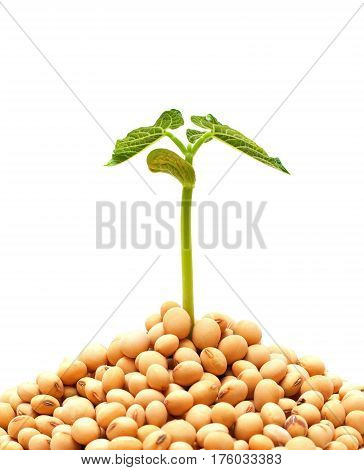 Soybean sprout isolated on a white background
