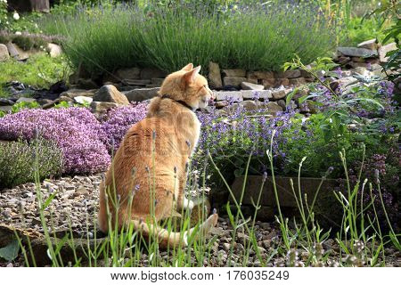 Ginger cat in the eco garden lured by the smell of catnip