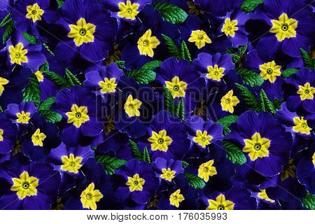 Flowers background. Flowers blue violets. Much violets with a yellow center. floral collage. flowers composition. Nature.