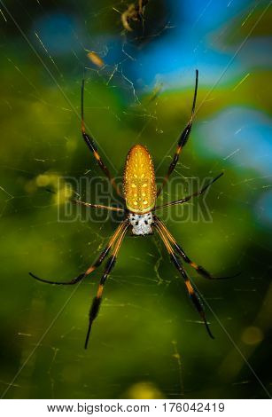 A yellow banana spider in it's web