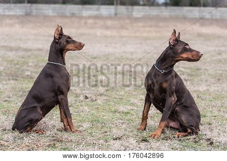 Doberman Pinscher Poses For The Camera