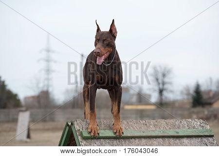 Brown Doberman pinscher in training. Outdoor photo