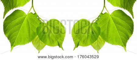 Frame Of Spring Tilia Leaves