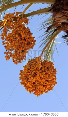 Date Palm With Bunches Of Ripening Fruit