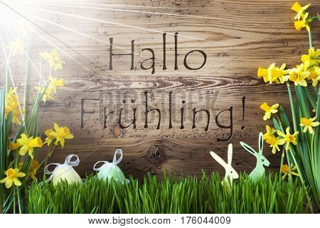 Wooden Background With German Text Hallo Fruehling Means Hello Spring. Easter Decoration Like Easter Eggs And Easter Bunny. Sunny Yellow Spring Flower Narcisssus With Grass. Card For Seasons Greetings