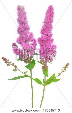 Astilbe flower isolated on a  white background