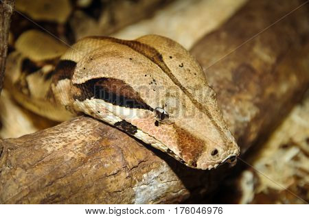 A boa constrictor slithering over a branch